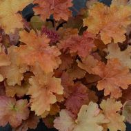 Heuchera 'Christa' (Żurawka) - heuchera__christa__(4)[1].jpg